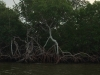 25-Mangrove Roots