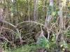 73-Mangrove
