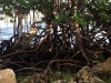 74-Mangrove